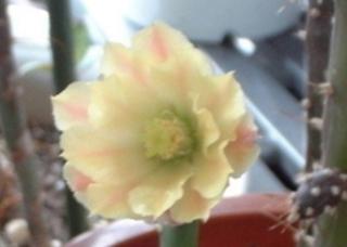DSCF0007さぼてんの花黄12