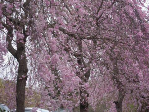 DSCN0188 桜の里