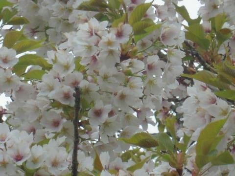 DSCN0198 桜の里