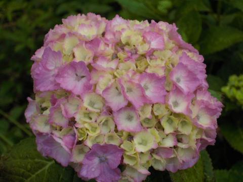 DSCN0010 紫陽花