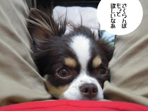 DSCN0023 さくらんぼ