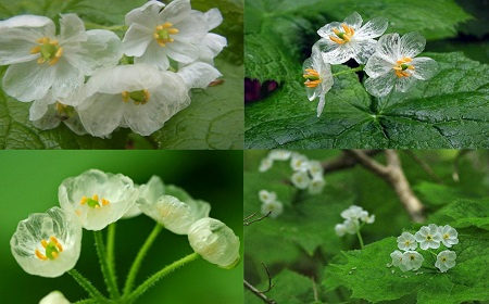 雨や露で花びらが湿ってくると~
