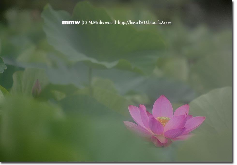 hasu_4.jpg