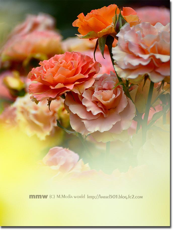 rose_06.jpg
