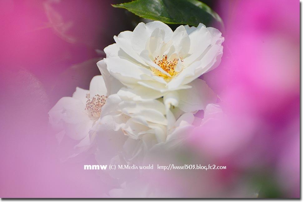 rose_15_20130605220301.jpg