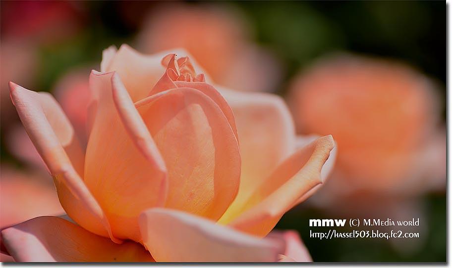 rose_4.jpg