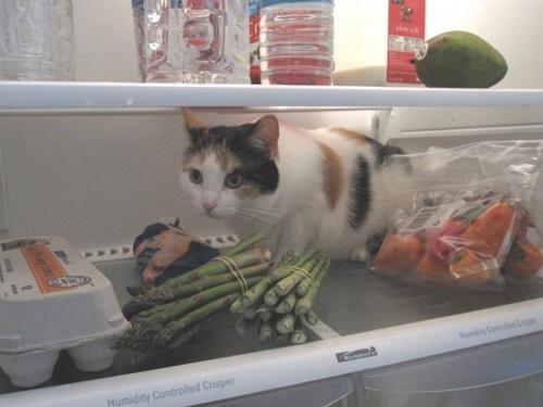 冷蔵庫 猫 ネコ