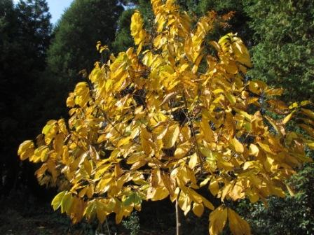 ポポーの樹の紅葉