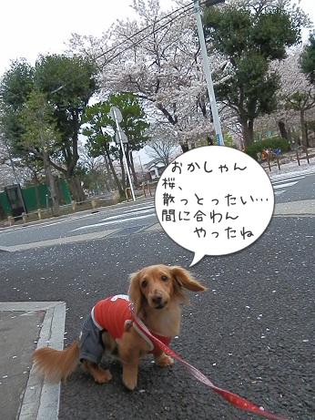 桜、散っとったい…