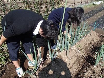 拝島ネギ 収穫1