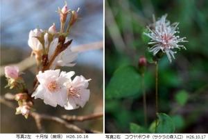 十月桜、コウヤボウキ