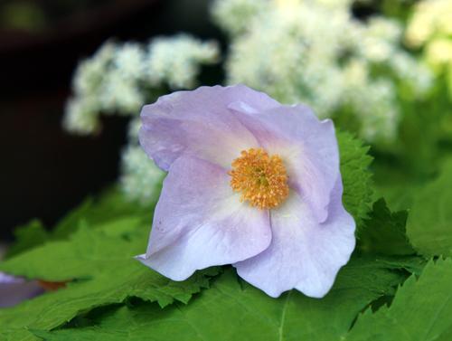 庭の花2013 003