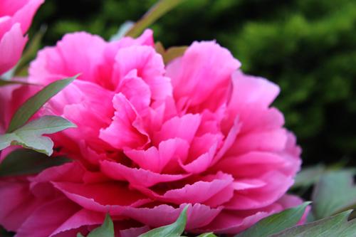 庭の花2013 053