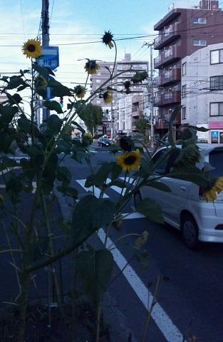 20130929用・ひまわり