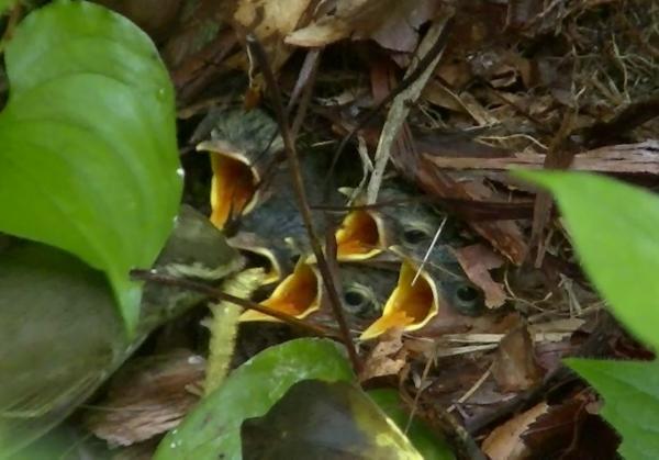 センダイムシクイの巣