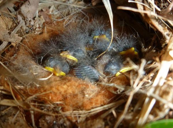 センダイムシクイの巣7