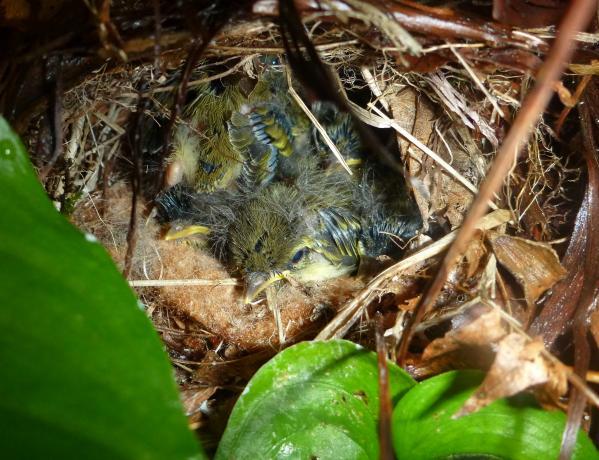 センダイムシクイの巣5