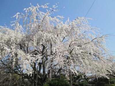 岡場の枝垂桜