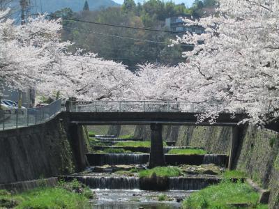 有馬の桜1