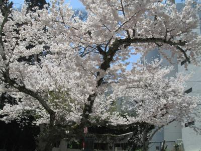 有馬の桜4