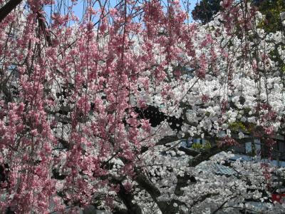 有馬の桜5