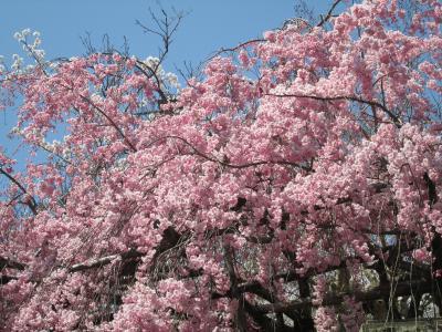 有馬の桜6