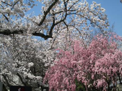 有馬の桜7