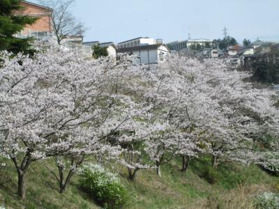 山の街の桜