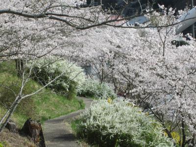 山の街の桜2