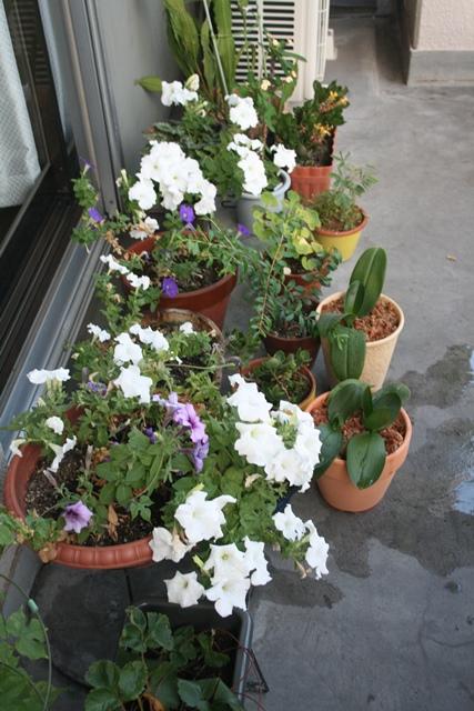 IMG_7109 ベランダの花 W