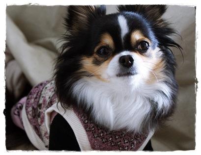 犬服*ワッフルニットシャツ01