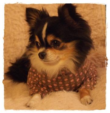 犬服*タートルシャツ04