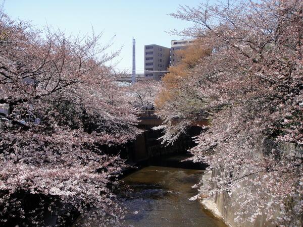 石神井川の桜並木お花見巡り ...