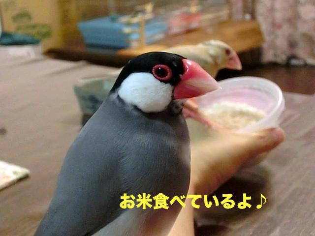 お米食べているよ♪