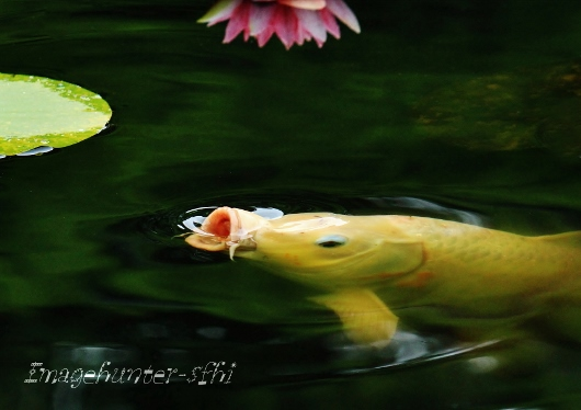 鯉の口 (530x374)