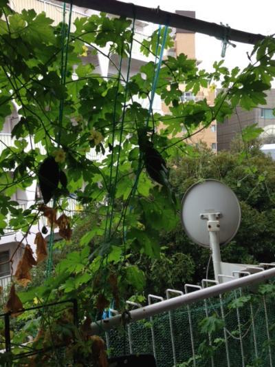大雨、ベランダのゴーヤは大きい実を付ける_convert_20130916205358