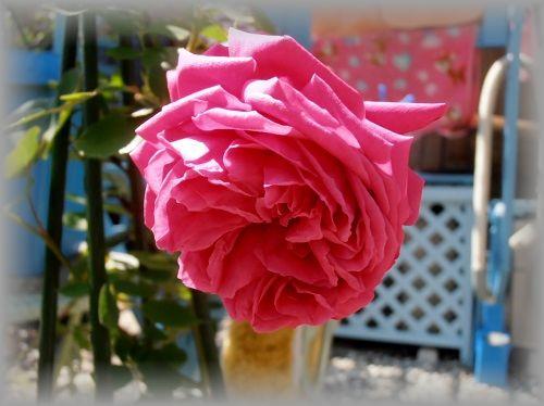 P5080017.JPG Frau Dr. Schricker rose