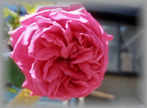 P5080018.JPG Frau Dr. Schricker rose