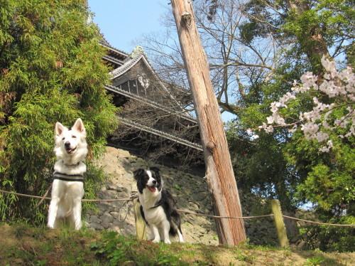 松江城と桜と ホワイトスイスシェパード ビオラ と ボーダーコリー メル①
