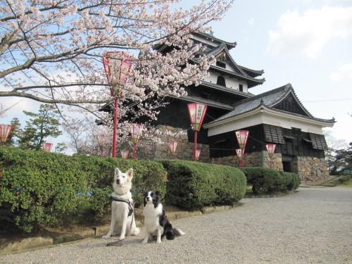 松江城と桜と ホワイトスイスシェパード ビオラ と ボーダーコリー メル②