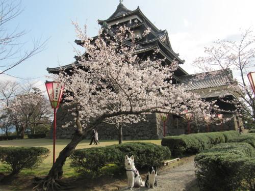 松江城と桜と ホワイトスイスシェパード ビオラ と ボーダーコリー メル③