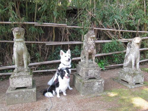 石狐と ホワイトスイスシェパード ビオラ と ボーダーコリー メル