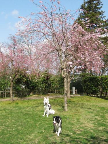 桜と ホワイトスイスシェパード ビオラ と ボーダーコリー メル