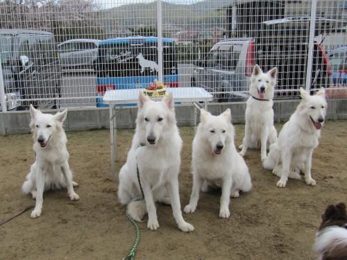 リサ母さんと 2歳になったホワイトスイスシェパード ビオラ、エース、タキオン、シロ