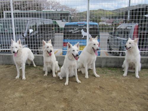 ホワイトスイスシェパード タキオン、シロ、ビオラ、エースと、リサ母さん