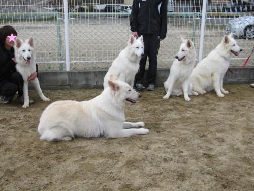 ホワイトスイスシェパード ランスロット、マロ、ルーア、ランと、リサ母さん