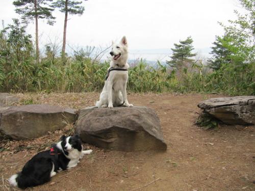 石の上の ホワイトスイスシェパード ビオラ と ボーダーコリー メル