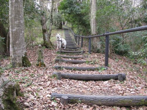 階段を上る ホワイトスイスシェパード ビオラ