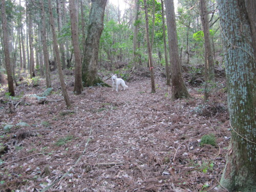 森の中の ホワイトスイスシェパード ビオラ ②