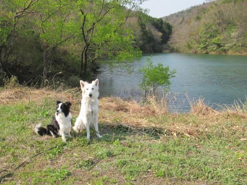 池を背景に ボーダーコリー メル と ホワイトスイスシェパード ビオラ